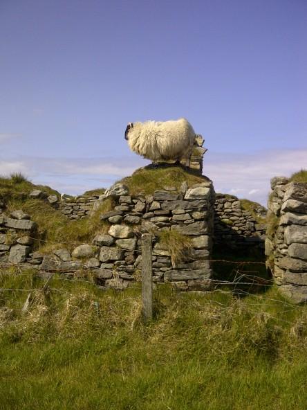 An Adventurous Sheep